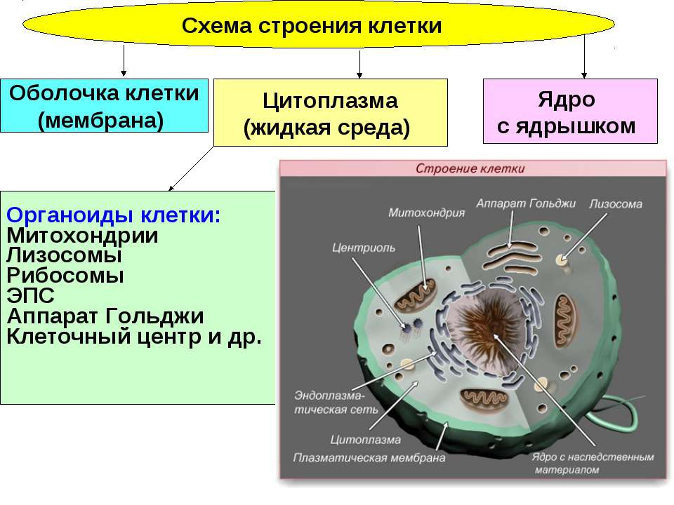 Схема строения клетки Ядро с ядрышком Цитоплазма (жидкая среда) Оболочка клет...