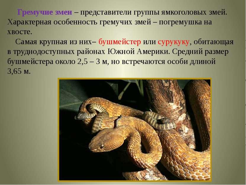 Гремучие змеи – представители группы ямкоголовых змей. Характерная особенност...