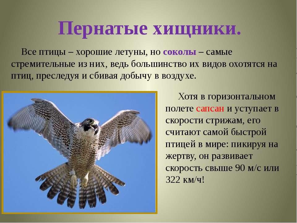 Пернатые хищники. Все птицы – хорошие летуны, но соколы – самые стремительные...