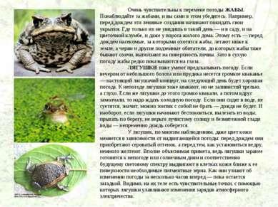 Очень чувствительны к перемене погоды ЖАБЫ. Понаблюдайте за жабами, и вы сами...