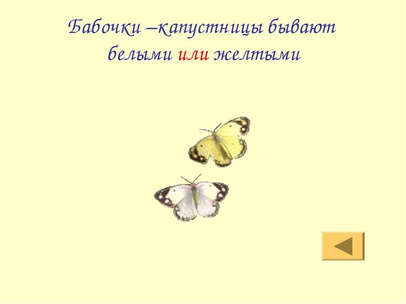 Бабочки –капустницы бывают белыми или желтыми