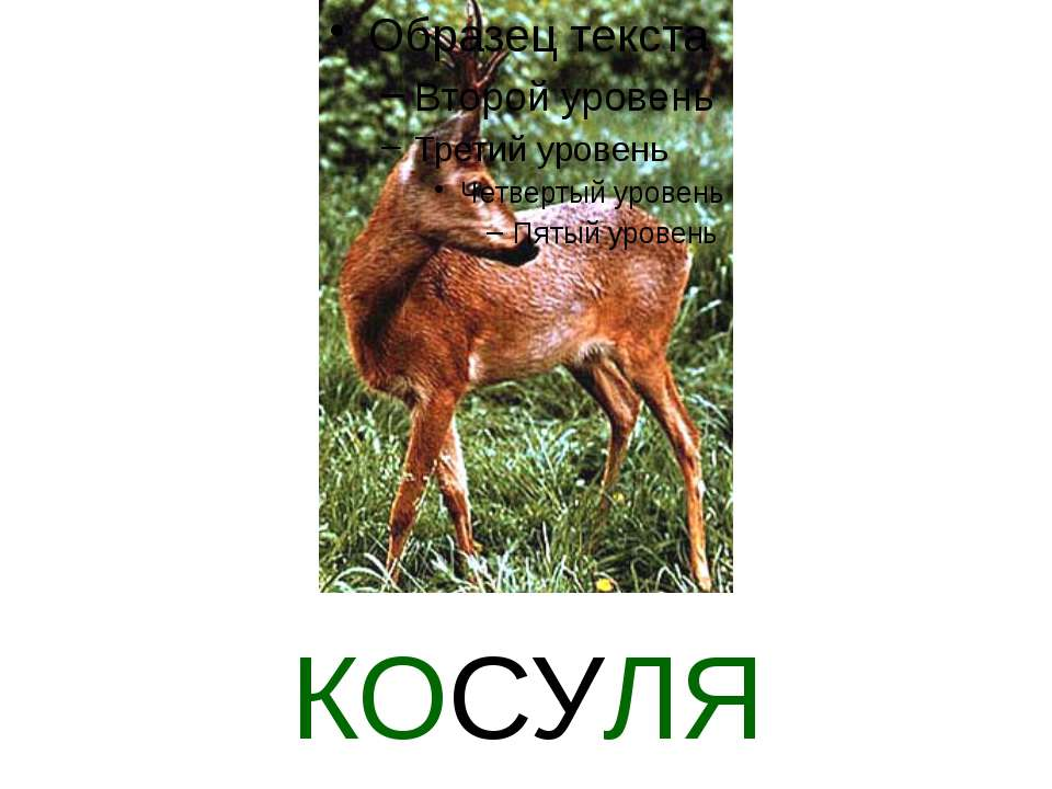 КОСУЛЯ