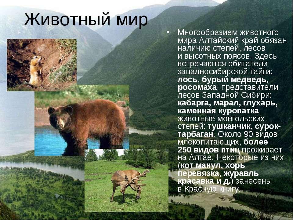 Животный мир Многообразием животного мира Алтайский край обязан наличию степе...