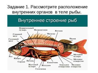 Задание 1. Рассмотрите расположение внутренних органов в теле рыбы.