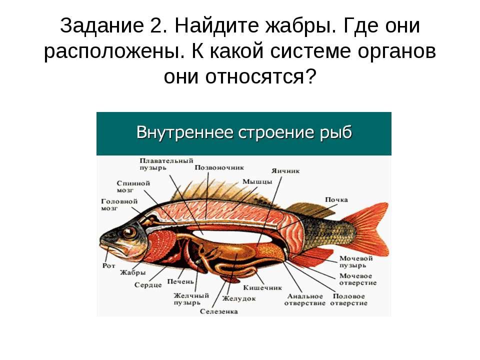 Задание 2. Найдите жабры. Где они расположены. К какой системе органов они от...
