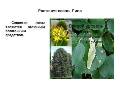 Растения лесов. Липа Соцветия липы являются отличным потогонным средством.
