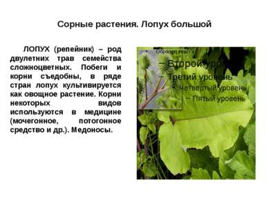 Сорные растения. Лопух большой ЛОПУХ (репейник) – род двулетних трав семейств...