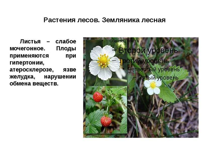 Растения лесов. Земляника лесная Листья – слабое мочегонное. Плоды применяютс...