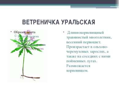 ВЕТРЕНИЧКА УРАЛЬСКАЯ Длиннокорневищный травянистый многолетник, весенний перв...