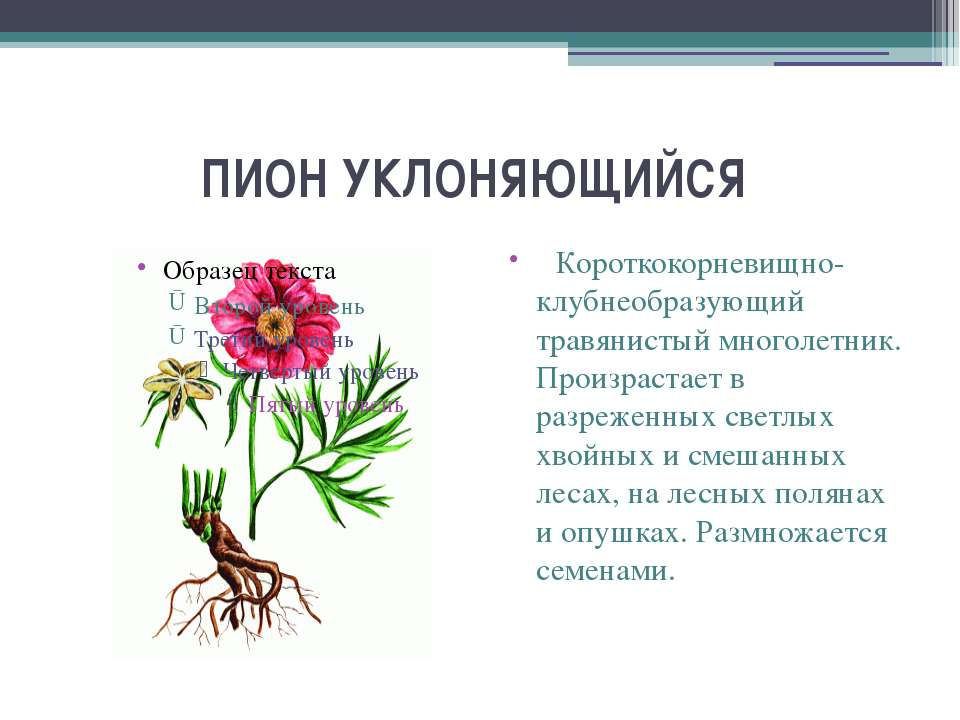 ПИОН УКЛОНЯЮЩИЙСЯ  Короткокорневищно-клубнеобразующий травянистый многолетн...