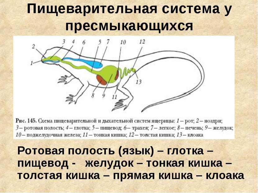 Пищеварительная система у пресмыкающихся Ротовая полость (язык) – глотка – пи...