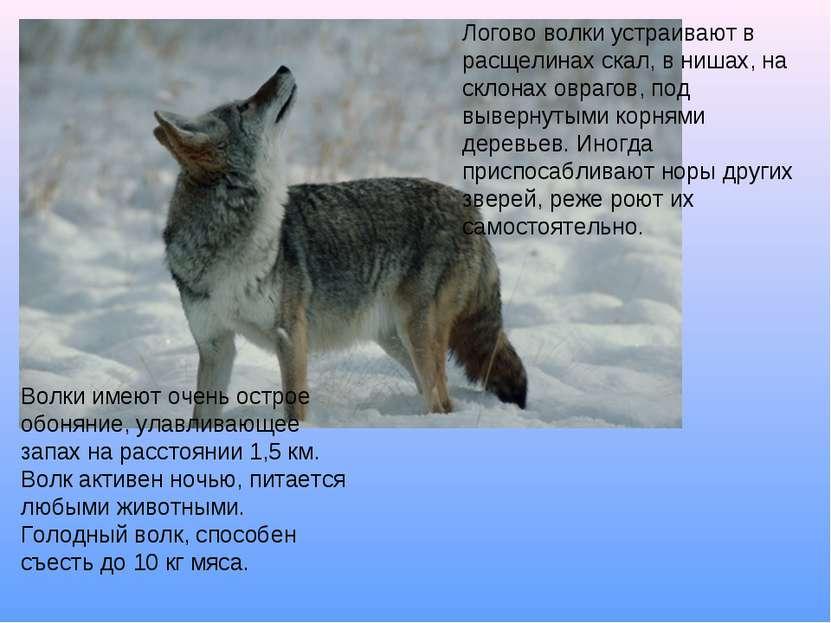 Логово волки устраивают в расщелинах скал, в нишах, на склонах оврагов, под в...