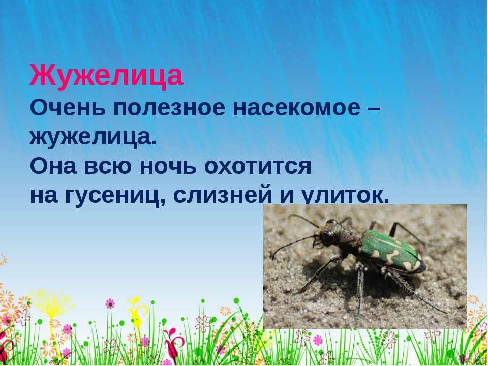 Жужелица Очень полезное насекомое – жужелица. Она всю ночь охотится на гусени...