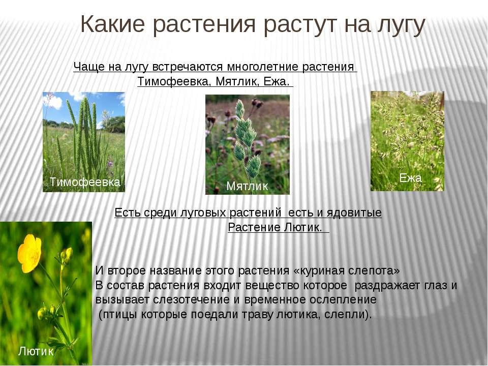 Какие растения растут на лугу Чаще на лугу встречаются многолетние растения Т...