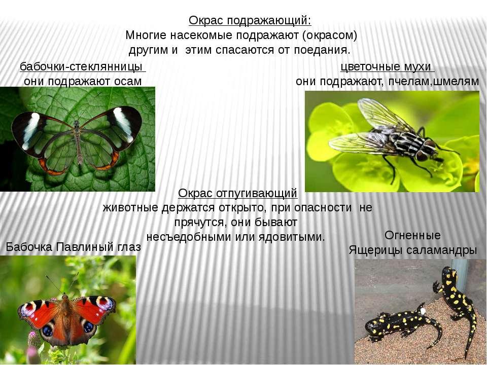 Окрас подражающий: Многие насекомые подражают (окрасом) другим и этим спасают...