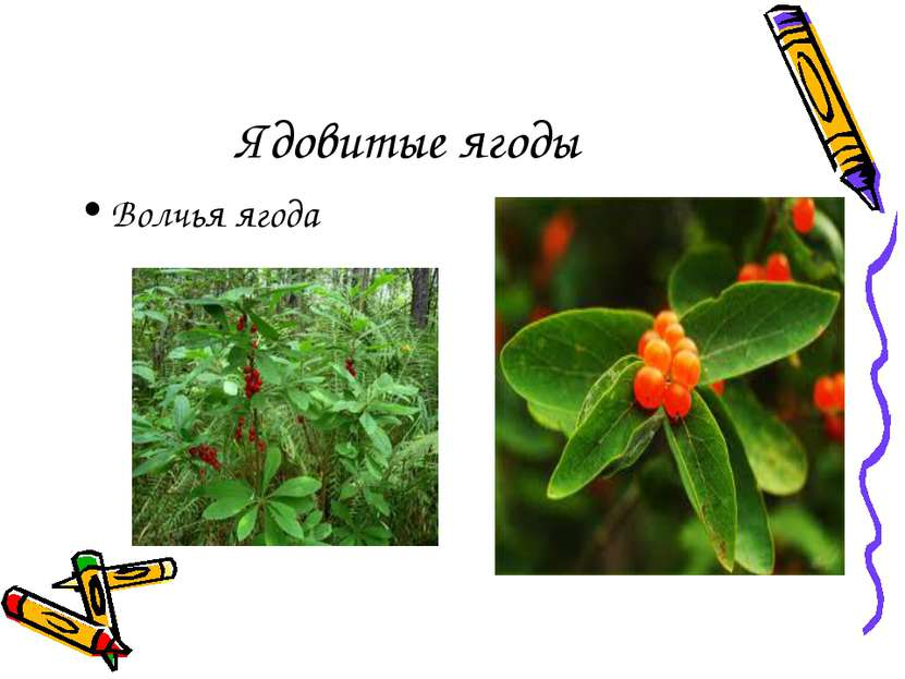 Ядовитые ягоды Волчья ягода