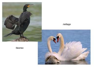 баклан лебеди