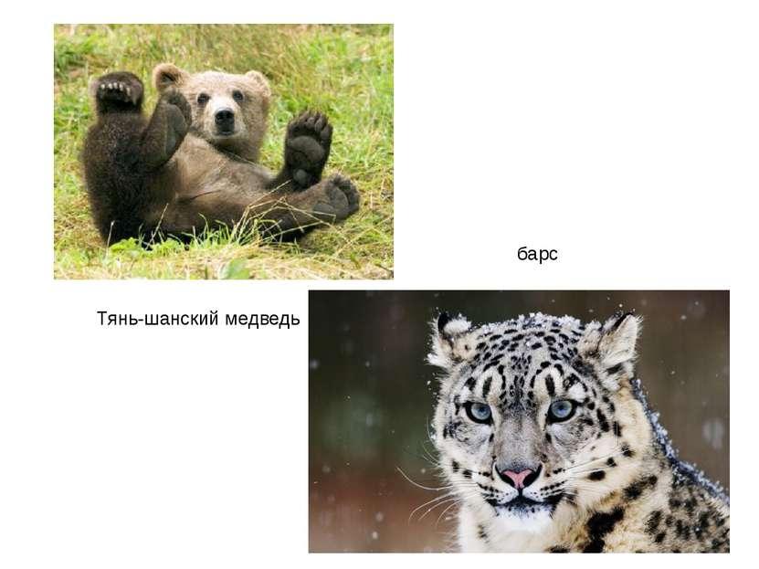 Тянь-шанский медведь барс