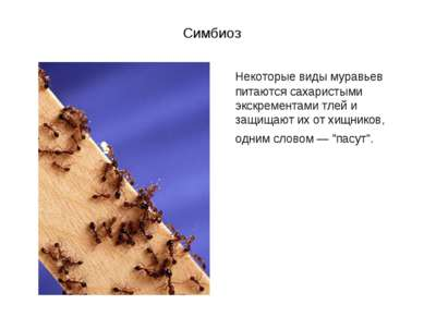 Симбиоз Некоторые виды муравьев питаются сахаристыми экскрементами тлей и защ...