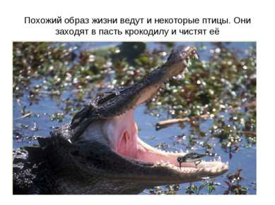 Похожий образ жизни ведут и некоторые птицы. Они заходят в пасть крокодилу и ...