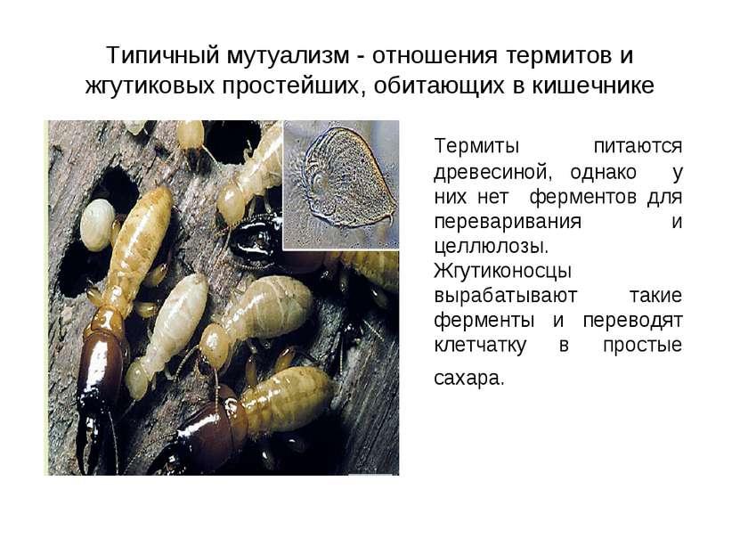 Типичный мутуализм - отношения термитов и жгутиковых простейших, обитающих в ...