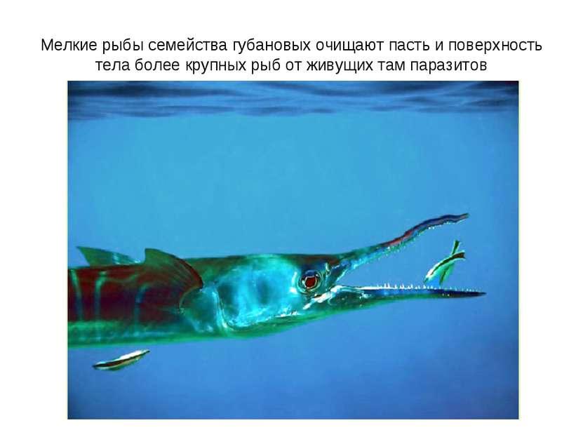 Мелкие рыбы семейства губановых очищают пасть и поверхность тела более крупны...
