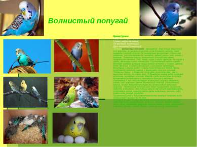 Волнистый попугай Ирина Гурина. Попугай танцует в клетке, Словно радуга на ве...