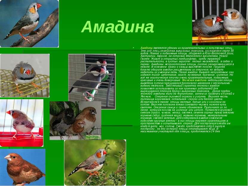 Амадина Амадины являются одними из привлекательных и популярных птиц. Это род...