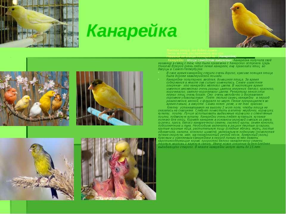 Канарейка Желтая птица, как будто лимон, Песнь запоет, растревожит ваш сон. Н...
