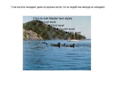 Стаи касаток нападают даже на крупных китов. Но на людей они никогда не напад...