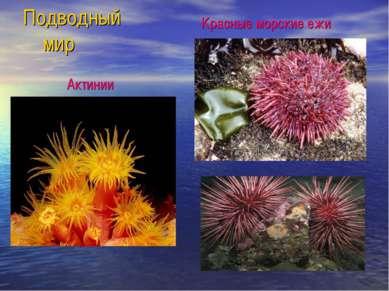 Подводный мир Актинии Красные морские ежи