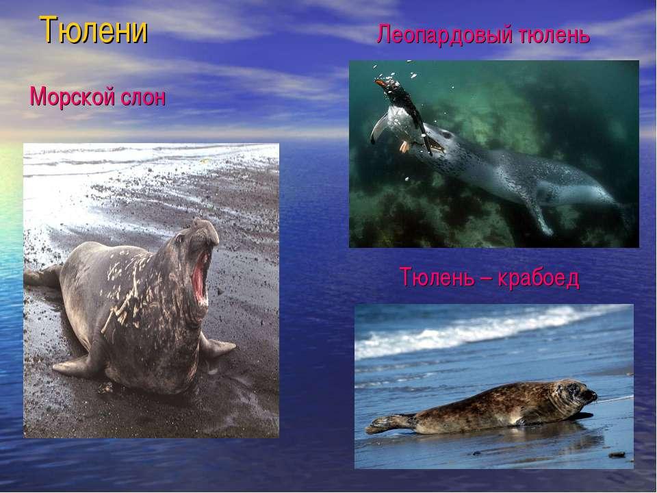 Тюлени Морской слон Леопардовый тюлень Тюлень – крабоед