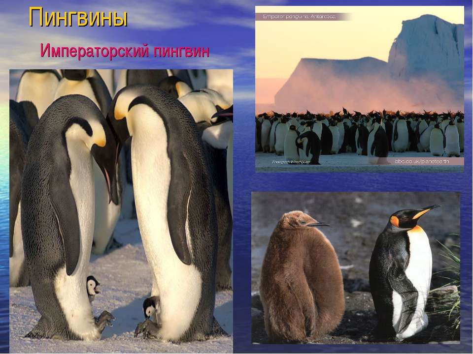 Пингвины Императорский пингвин