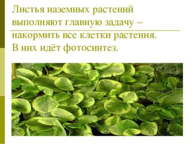 Листья наземных растений выполняют главную задачу – накормить все клетки раст...