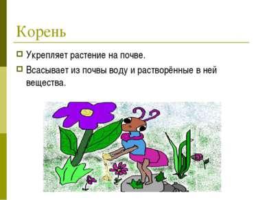 Корень Укрепляет растение на почве. Всасывает из почвы воду и растворённые в ...