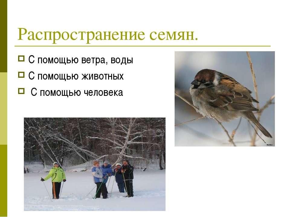 Распространение семян. С помощью ветра, воды С помощью животных С помощью чел...
