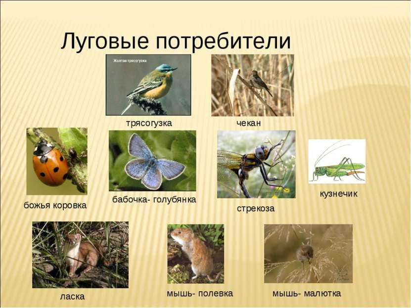 Луговые потребители бабочка- голубянка стрекоза мышь- малютка чекан божья кор...