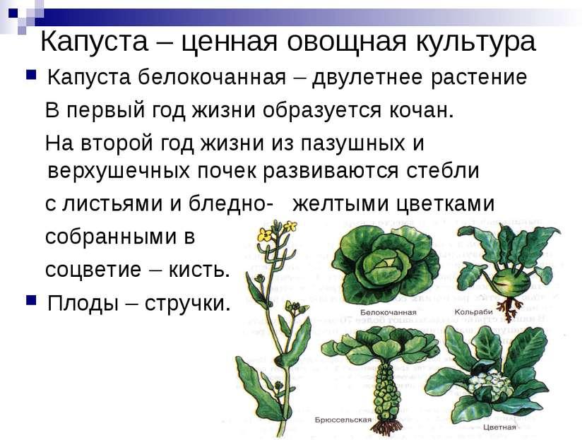 Капуста – ценная овощная культура Капуста белокочанная – двулетнее растение В...