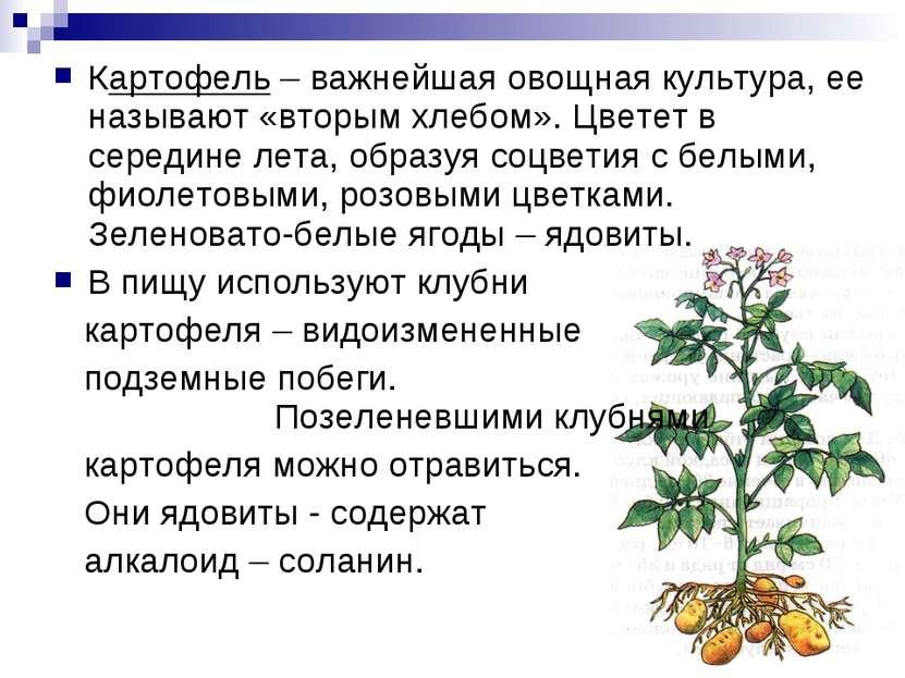 Картофель – важнейшая овощная культура, ее называют «вторым хлебом». Цветет в...