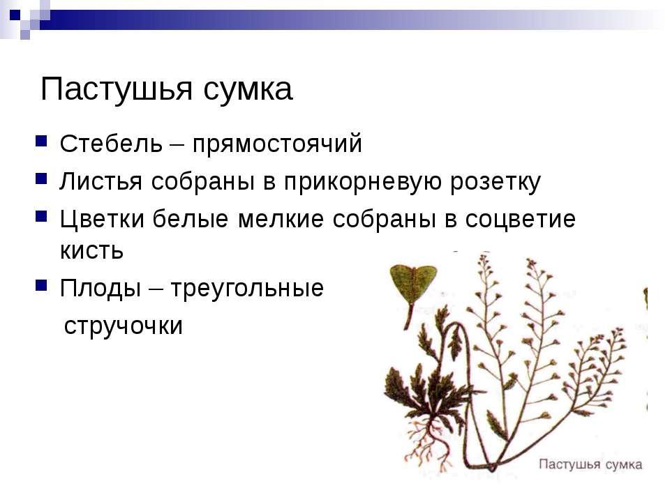Пастушья сумка Стебель – прямостоячий Листья собраны в прикорневую розетку Цв...