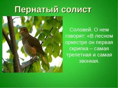 Пернатый солист Соловей. О нем говорят: «В лесном оркестре он первая скрипка ...