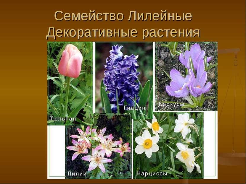 Семейство Лилейные Декоративные растения