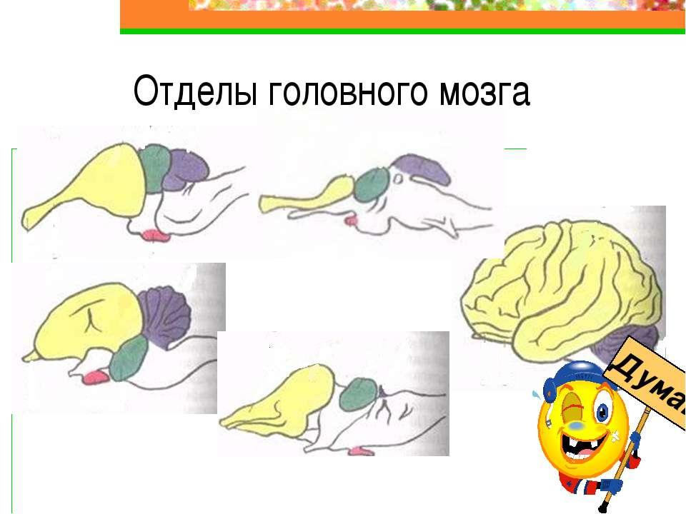 Отделы головного мозга