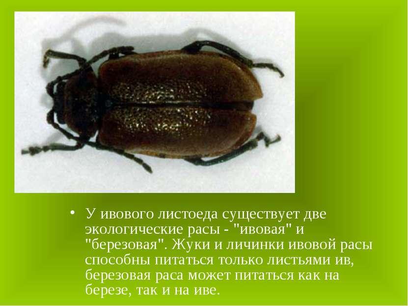 """У ивового листоеда существует две экологические расы - """"ивовая"""" и """"березовая""""..."""