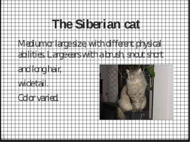 The Siberian cat Medium or large size, with different physical abilities. Lar...