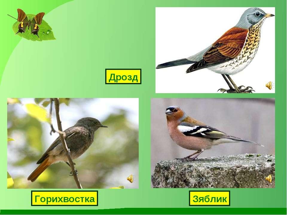 Дрозд Зяблик Горихвостка