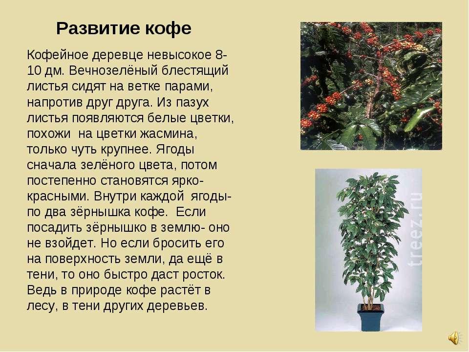 Развитие кофе Кофейное деревце невысокое 8-10 дм. Вечнозелёный блестящий лист...