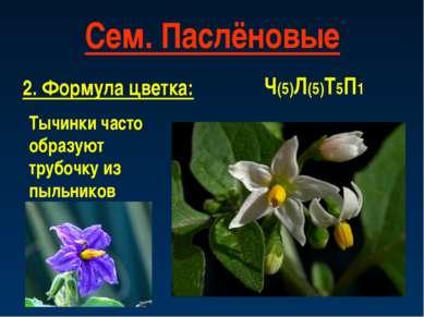 Сем. Паслёновые 2. Формула цветка: Ч(5)Л(5)Т5П1 Тычинки часто образуют трубоч...
