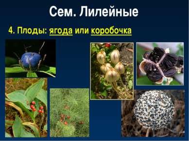 Сем. Лилейные 4. Плоды: ягода или коробочка