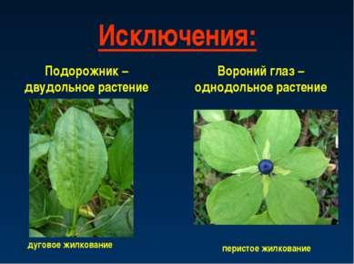 Исключения: Подорожник – двудольное растение дуговое жилкование Вороний глаз ...
